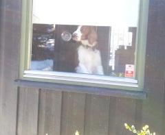 hund i vinduet