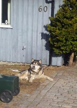 ulv eller hund?